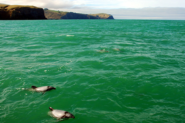 Swimming With Dolphins – Akaroa, New Zealand