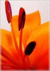 True Beauty.... (sallysue007) Tags: orange macro nature lily pollen naturesfinest supershot fantasticflower golddragon mywinnerstrophy shieldofexcellence anawesomeshot ithinkthisisart empyreanflowers brillianteyejewell flickrsfantasticflowers betterthangood dragongold digitalphotogallery
