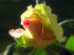 Young Rose (JannaPham) Tags: flower sunshine rose spring vivid sensational golddragon saveearth colourartaward platinumheartaward mimamorflowers overtheshot llovemypics awesomeblossoms vietbestphoto jannapham