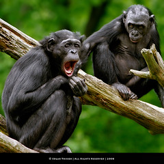 The closest relative to Humans... (Edgar Thissen) Tags: nature zoo monkey bravo chimp yawn explore ape chimpanzee primate apenheul bonobo apeldoorn pygmy mondaymorning edgarthissen specanimal mywinners panpaniscus impressedbeauty 35457