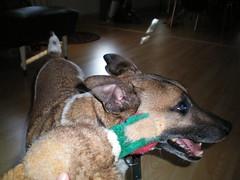 bite iiit (Alexandratx) Tags: dogs artie
