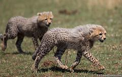 Young cheetahs walking (Tony Costa (eTravelPhotos)) Tags: animals kenya wildlife cheetah bigcats cheetahs masaimara tonycosta etravelphotos