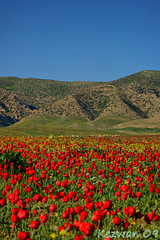 Red Spring (kezwan) Tags: red nature spring poppies kurdistan 1on1 kezwan buhar onlythebestare  sirot