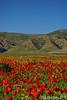 Red Spring (kezwan) Tags: red nature spring poppies kurdistan 1on1 kezwan buhar onlythebestare کوردستان siroşt بوهار سروشت