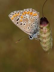 Aricia cramera (diegocon1964) Tags: lepidoptera lycaenidae papilionoidea aricia plebeius polyommatini ariciacramera