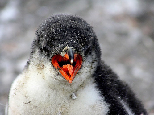 Gentoo penguin's chick by Jo Sze
