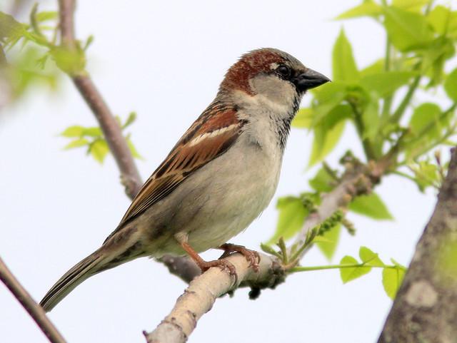 House Sparrow 20110512