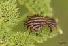 Pentatome rayé  (Graphosoma lineatum) (~Cess~) Tags: red black macro green rouge noir vert insecte punaise rayé graphosoma lineatum opposti pentatome beautifulmonsters