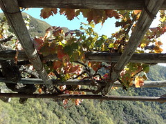 Pampini 2 (=roz=) Tags: italy sun liguria vine sole uva grape vigna pampini