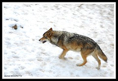 Loup d'Europe (Michel Seguret (Thanks for + 5.000.000 views)) Tags: winter france cold art nature animal animals season tiere nikon flickr artist arte kunst postcard hiver angles pro invierno loup michel animaux inverno parc froid frio animale naturesbest tier pyrnes temporada artiste smrgsbord photographe saison cartepostale seguret animalier nikond200 stagione kartpostal golddragon diamondstars thisphotorocks mostbeautifulpicture dragongoldaward flickrestrellas flickrlovers flickrpopularphotographer mb