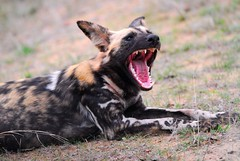 All the better to eat you with (jeremyhughes) Tags: southafrica nikon canine d200 nikkor krugernationalpark africanwilddog wilddog lycaonpictus nikond200 300mmf4d favoritesonly