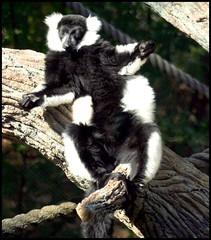 Lazy Ruffed Lemur († B.H.B. PHOTOGRAPHY †) Tags: lemur ruffed coolestphotographers