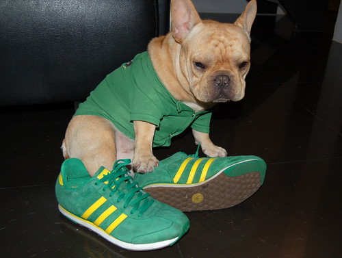 French Bulldog Wasabi in Adidas