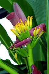 Banana Flower 15772