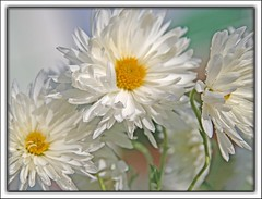 white mums (Lyubov) Tags: flowers white flower nature mums excellence bautiful blueribbonwinner thebiggestgroup passionphotography mywinners irresistiblebeauty diamondclassphotographer excellentphotographerawards theunforgettablepictures flowersmakeeveryonehappy theperfectphotographer
