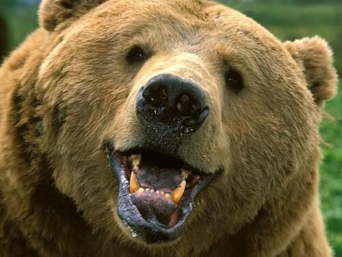 smiling bear.jpg