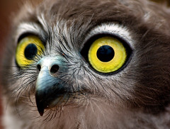 my, what big eyes you have.... (Light Knight) Tags: closeup eyes eagle feathers owl avian sigma70300apo mywinners pentaxk10d