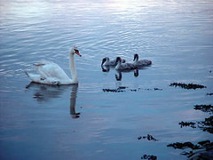 Swan and cygnets on the River Forth (accidentalsmallholder) Tags: swan forth cygnets
