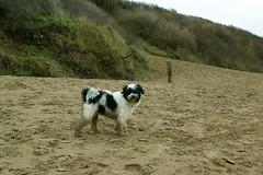 Tibetan terrier (dandavie) Tags: dog beach tibetanterrier sand walk sandy terrier western tibetan tt westernsupermare