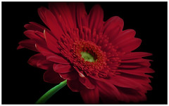 Gerbera (Andrea&Mike@Flickr) Tags: red flower rot photoshop flora gerbera blume infinestyle