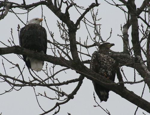 bald eagles in tree together 3