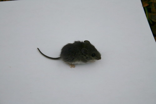 eeek, a mouse...
