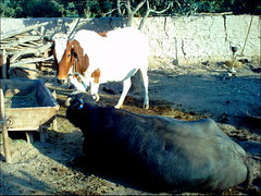 Silent guftagu (M.Rizwan Rafique) Tags: pets animals village cattle mammels pakistanvillage