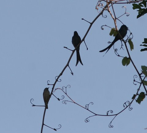 chestnut-tailed starling and drongo on vine lalbagh 010308