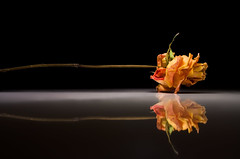 Mirrored (Villi.Ingi) Tags: light red two stilllife flower reflection nature beauty rose yellow canon dark table mirror stem flora shiny long darkness spotlight explore reflected getty wilted duality gettyimages excellence onblack blm pipc dapa mirrorlike 40d world100f imagicland