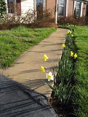 path of daffodils