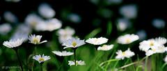 Spring (giusmelix) Tags: flowers flower primavera ex nature spring sigma natura fiori fiore dg 105mm giusmelix