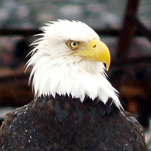 Eagles #2