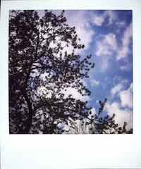 Plum Flowers (marlen.chen) Tags: sky bunny clouds polaroid plumtree plumflower plumflowers