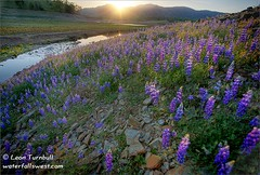 Lupines at Folsom Lake (leapin26) Tags: california folsom wildflower lupine americanriver folsomlake naturesfinest supershot specnature diamondclassphotographer