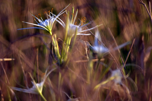Spider Lily Redux