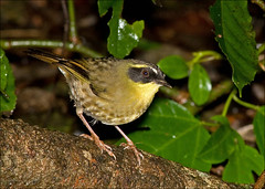 Yellow-throated Scrubwren (aaardvaark) Tags: 1st australia nsw dorrigo sericorniscitreogularis yellowthroatedscrubwren 2008041928302~ytscdorrigo