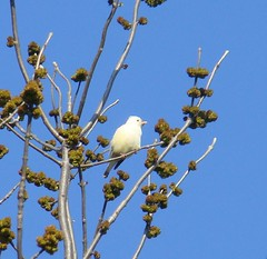 White mystery bird 1
