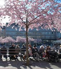 Stockholmers in the sun (Miss Claeson) Tags: people tree spring nikon sweden stockholm candid kungstrdgrden nikond80 aprilcherryblossom