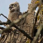 I'm a Great Horned Owl, Hear Me Roar. thumbnail