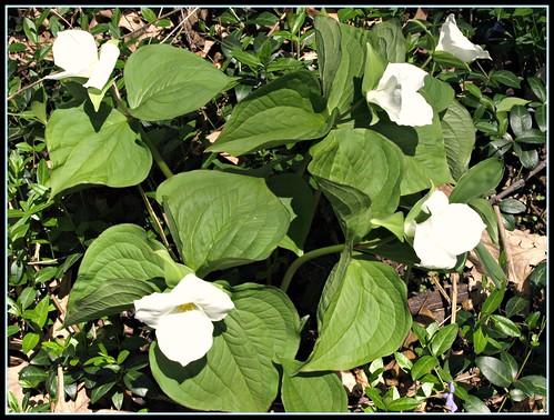 Grandiflora White Trillium