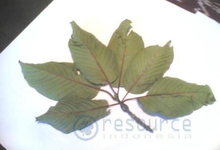 Kratom  Leaves picture photo bild