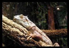 Guancho (Carlosys) Tags: iguana lagarto guancho