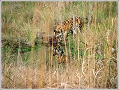 MP 638 (coloured glass) Tags: tiger royalbengaltiger