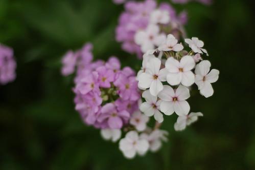 white + lilac