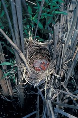 Red-winged Blackbird nest w/young, Hegewisch Marsh, Chicago, IL (5-25-81) (Walter Marcisz) Tags: birds icterids nests