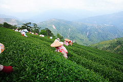 ,Taiwan oolong tea (Arte Lee) Tags: nature canon tea taiwan   oolongtea                    taiwanoolongtea