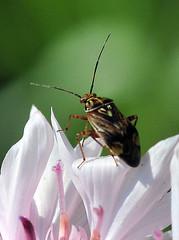 Lygus lineolaris (jwinfred) Tags: plants plant macro nature bug mississippi nikon insects delta cypress 90mm preserve greenville d300 tarnished lygus tamrom lineolaris