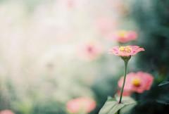 blossom (yttria.ariwahjoedi) Tags: pink plant flower green film ice analog canon dof ae1 cream lembang taman