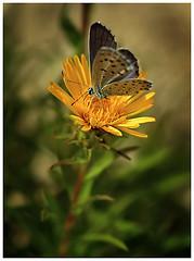 Fairyland (-Dorothea-) Tags: macro butterfly insect fly aficionados pentaxk10d diamondclassphotographer flickrdiamond