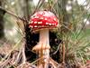 The famous Fly Mushroom (B℮n) Tags: nature mushroom topf25 forest topf50 vivid toadstool amanitamuscaria soe topf200 breathtaking flyagaric vliegenzwam zandverstuiving hulshorst naturesfinest leuvenhorst supershot 50faves 200faves 35faves 25faves abigfave flymushroom impressedbeauty superbmasterpiece naturefinest wowiekazowie diamondclassphotographer ishflickr 50earthmarvels earthmarvels50earthfaves flickrsfinest100faves